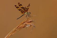 De Wimpel van Halloween (eponina Celithemis) Royalty-vrije Stock Afbeelding