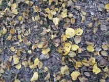De wind begon en de gele bladeren van de moerbeiboomboom vielen neer stock foto's