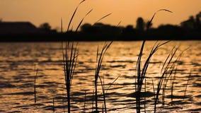 De wind beweegt het gras op het water in de stralen van de zonsondergangzon stock videobeelden