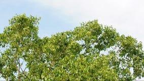 De wind blies een grote Bodhi-boom stock footage