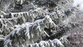 De wind in het bos slingert de grote dichte takken van blauwe die sparren met sneeuw worden behandeld stock videobeelden