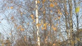 De wind schudt vorige herfst de takken van berk in Oktober, de bladerendaling van de takken van een boom in de wind stock videobeelden