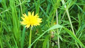 De wind slingert gele paardebloemen op het gebied in de zomer zonnige dag stock footage