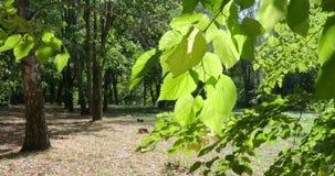 De wind slingert groene die bladeren van lindeboom door zon worden verlicht stock videobeelden
