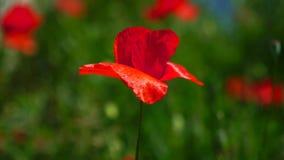 De wind speelt zacht met een eenzame papaver Eenzaam en unrepeatable Een heldere rode papaver, trekt bijen aan In de tuin stock video