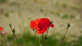 De wind speelt zacht met een eenzame papaver Eenzaam en unrepeatable Een heldere rode papaver, trekt bijen aan In de tuin stock footage