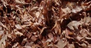 De wind van de herfstbladeren stock video