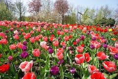 De windmolens van Holland en gebied van tulpen Stock Fotografie