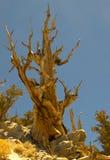 De Winkelhaak van de Pijnboom van Bristlecone Royalty-vrije Stock Foto