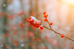 De winter ashberry onder de sneeuw Royalty-vrije Stock Foto's