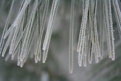 De winter bevroren naalden van een tak van de pijnboomboom Stock Fotografie