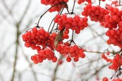 De winter Bevroren Viburnum onder Sneeuw Viburnum in de sneeuw royalty-vrije stock foto's