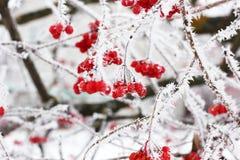 De winter Bevroren Viburnum onder Sneeuw Viburnum in de sneeuw Eerste sneeuw De herfst en sneeuw De mooie Winter De winterwind Ij stock foto's