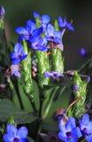 De winter Blauw Sage Flower stock fotografie