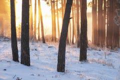 De winter boslandschap bij zonsopgang in ochtend Helder geel zonlicht die achter Boomstammen van pijnboombomen glanzen in bos royalty-vrije stock afbeelding
