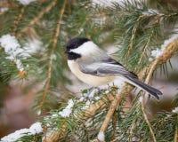 De winter Chickadee Stock Afbeelding