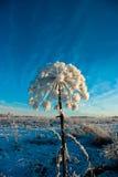 De winter cowparsnip Royalty-vrije Stock Fotografie