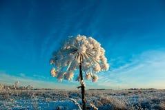 De winter cowparsnip Royalty-vrije Stock Afbeelding