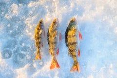 De winter die, reshwater Toppositie het gevangen leggen op de sneeuw vissen royalty-vrije stock foto