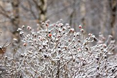De winter dogrose Royalty-vrije Stock Afbeelding
