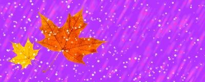 De winter en de herfst ontmoetten twee esdoornbladeren op een proton purpere backgr royalty-vrije stock afbeelding