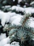 De winter en Kerstmisachtergrond De takboom van de pijnboom onder sneeuw Sparrentakken van naaldboomboom in sneeuw voor Nieuwjaar royalty-vrije stock afbeelding