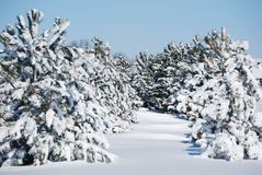 De winter evergreens Stock Fotografie