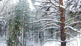 De winter Forest Aerial View stock footage