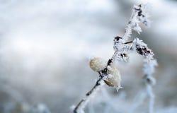 De winter FrostClose omhoog van een bevroren boomtak stock fotografie