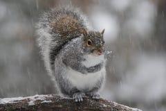 De winter Gray Squirrel in Sneeuw royalty-vrije stock foto