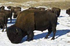 De winter grazer Stock Afbeelding