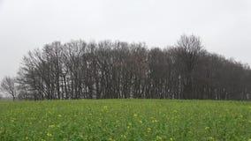 De winter Het landschap is een eenzame boom in de mist Donkere regenachtige dag December Duitsland stock video