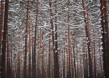 De winter in het pijnboombos Royalty-vrije Stock Afbeeldingen