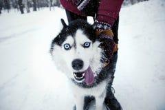 De winter Husky Dog met een grappig gezicht royalty-vrije stock afbeeldingen
