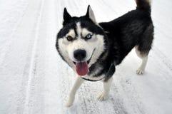 De winter Husky Dog met een grappig gezicht stock foto's