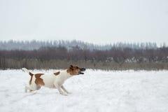 De winter de jacht de hond volgt de sleep, is agressief gestemd Royalty-vrije Stock Fotografie