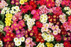 de winter jasmijn Royalty-vrije Stock Afbeeldingen