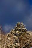 De winter pijnboom sneeuw Royalty-vrije Stock Afbeelding