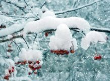 De winter, rode bessen in sneeuw Stock Afbeelding