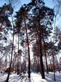 De winter Siberisch bos, het gebied van Omsk Royalty-vrije Stock Foto's