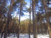 De winter sneeuwdag in een pijnboombos Stock Afbeelding
