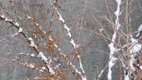 In de winter, de snow-covered tak van de kruisbessenschommeling van de windvlagen van wind op een onscherpe achtergrond, is het s stock video
