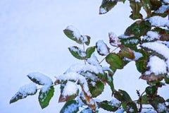 De winter Struik met Heldergroene die bladeren met witte sneeuw worden behandeld Stock Afbeeldingen