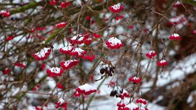 In de winter, tijdens een sneeuwval, wankelt een tak van een viburnum met rode bessen van windvlagen van wind, is de achtergrond  stock footage