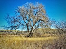 De winter Toneelcottonwood Forest Southern Colorado Stock Foto's