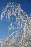 De winter van de berk Stock Foto's