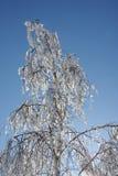 De winter van de berk Stock Afbeelding