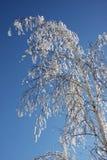 De winter van de berk Royalty-vrije Stock Fotografie