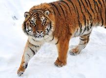 De winter van de tijger Royalty-vrije Stock Afbeeldingen