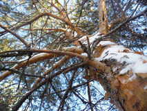 De winter van het pijnboomhout Stock Foto's